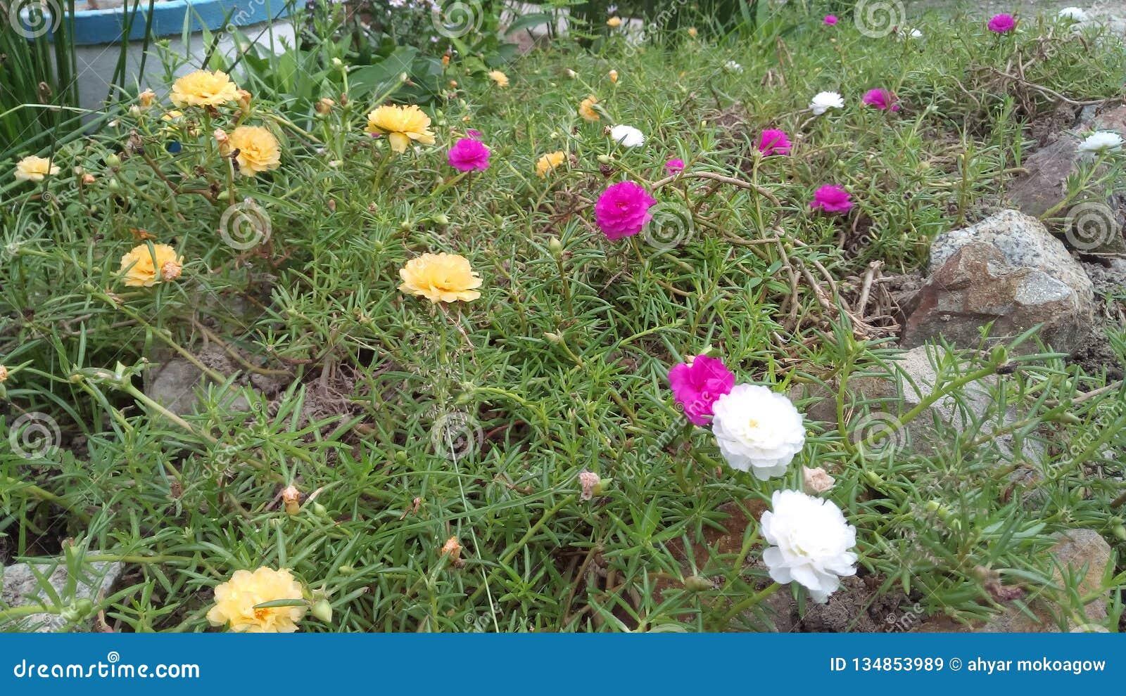 Rose de fleur, jardin blanc et jaune