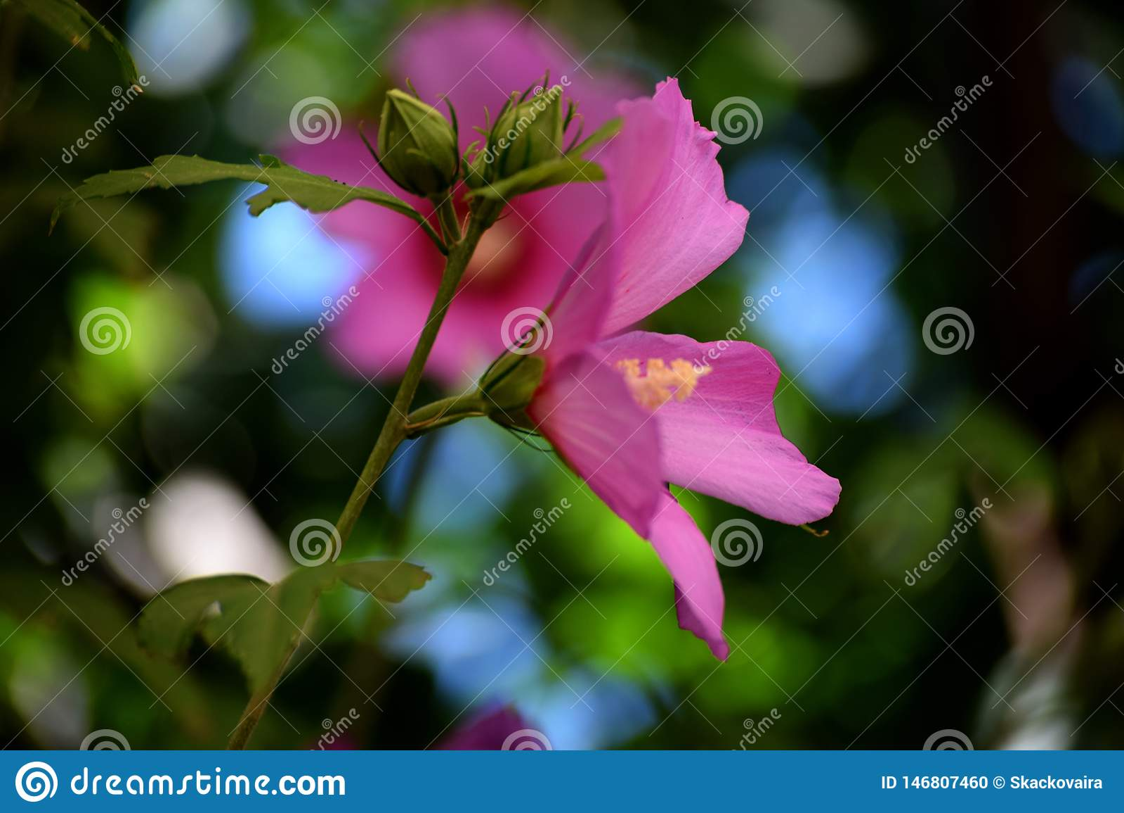 Rose de fleur de mauve