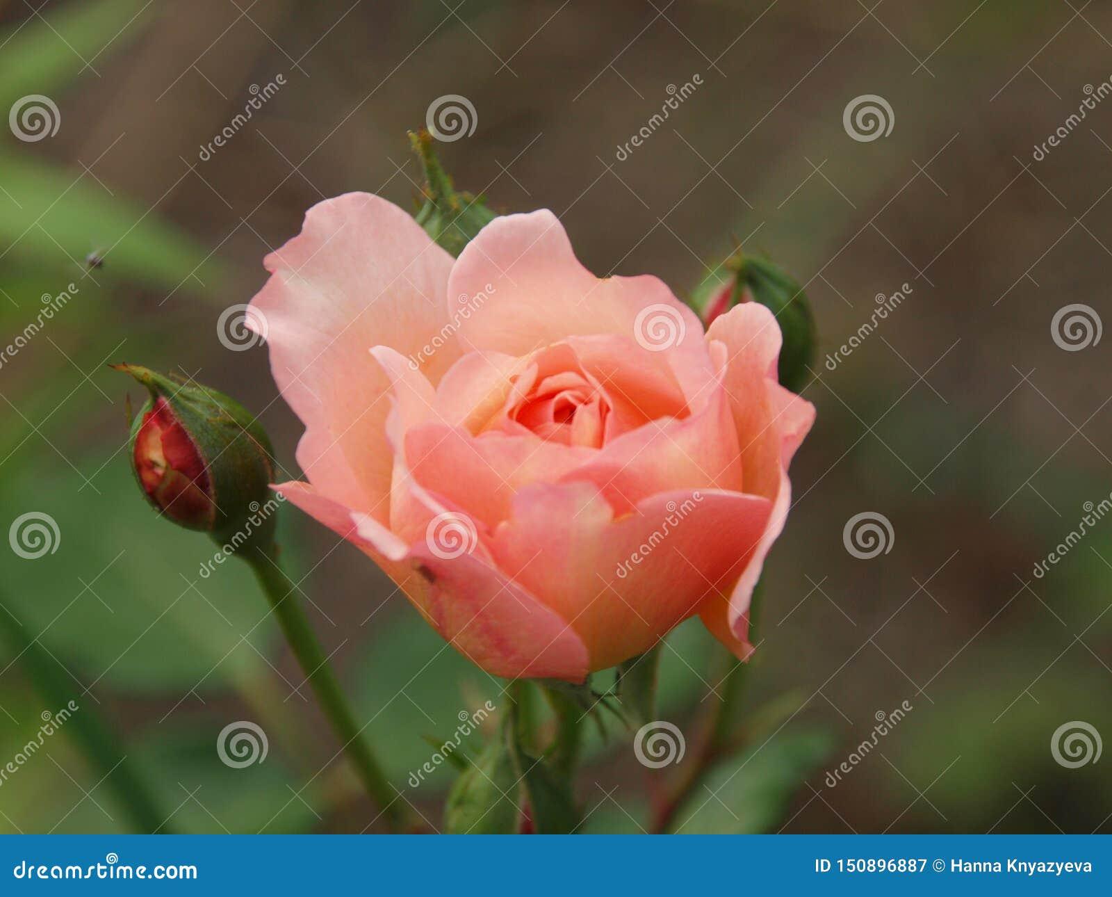 Rose de Gerberua