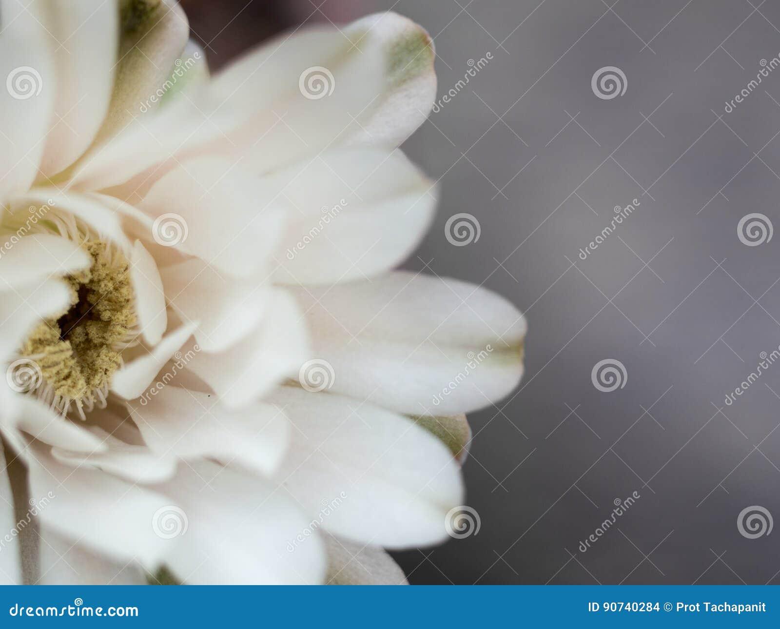 rose de pétale de fleur de cactus l'étamine jaune sur l'intérieur