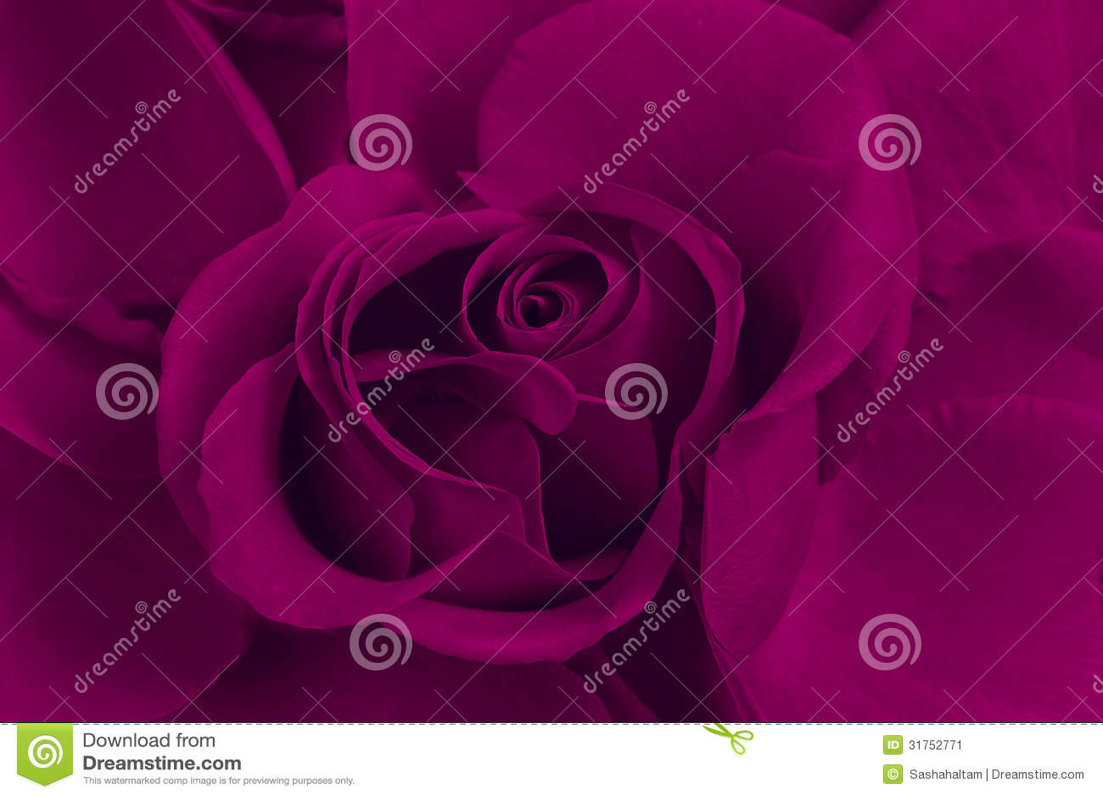 Rose de pourpre