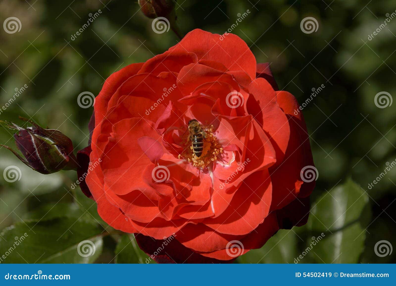 Rose de rouge avec l abeille