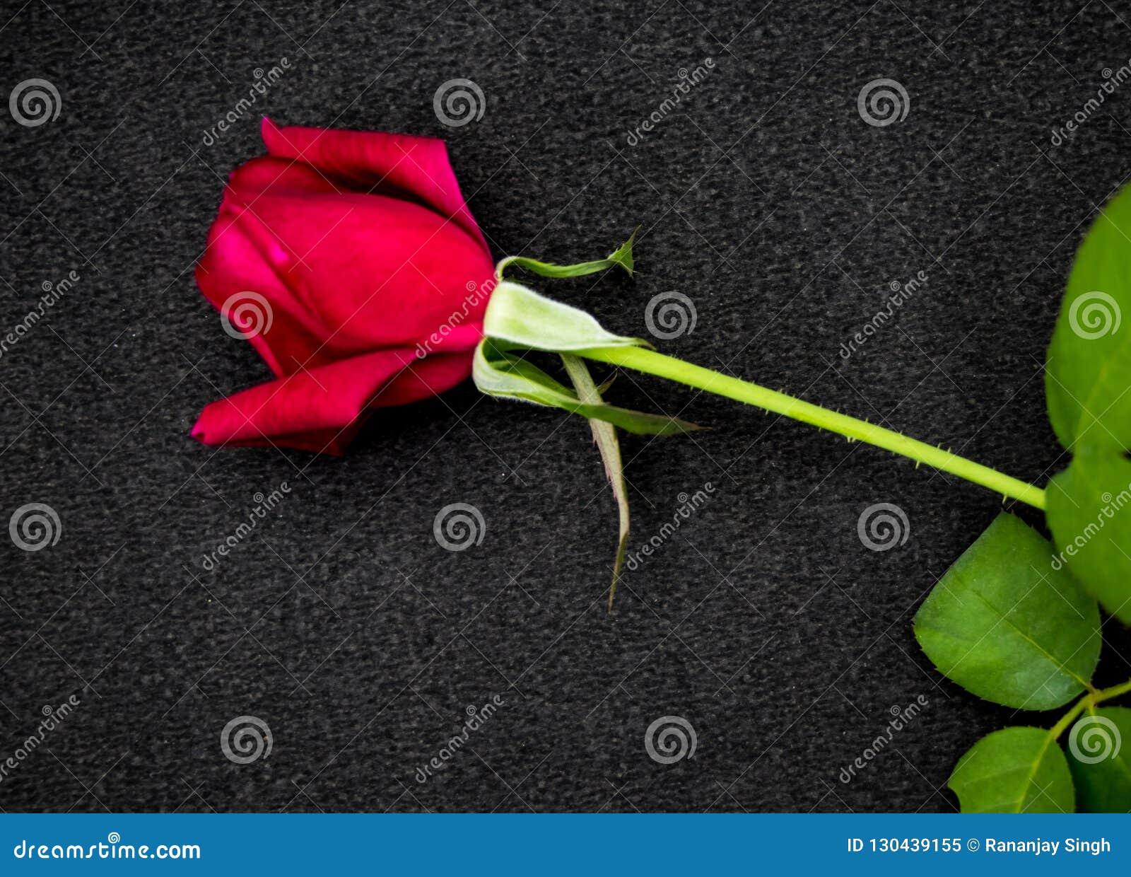 Rose De Rouge Disolement Sur Le Fond Noir Amour Romantique