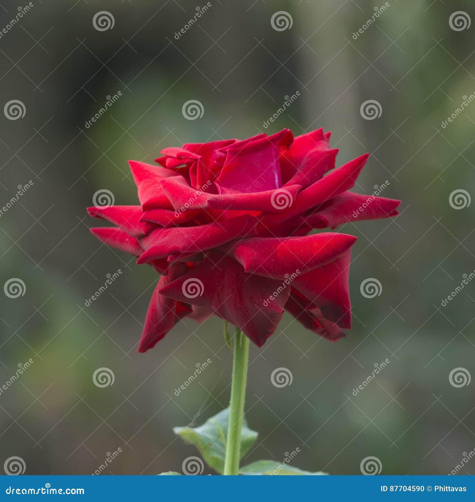 Rose de rouge de plan rapproché au-dessus de fond vert de nature