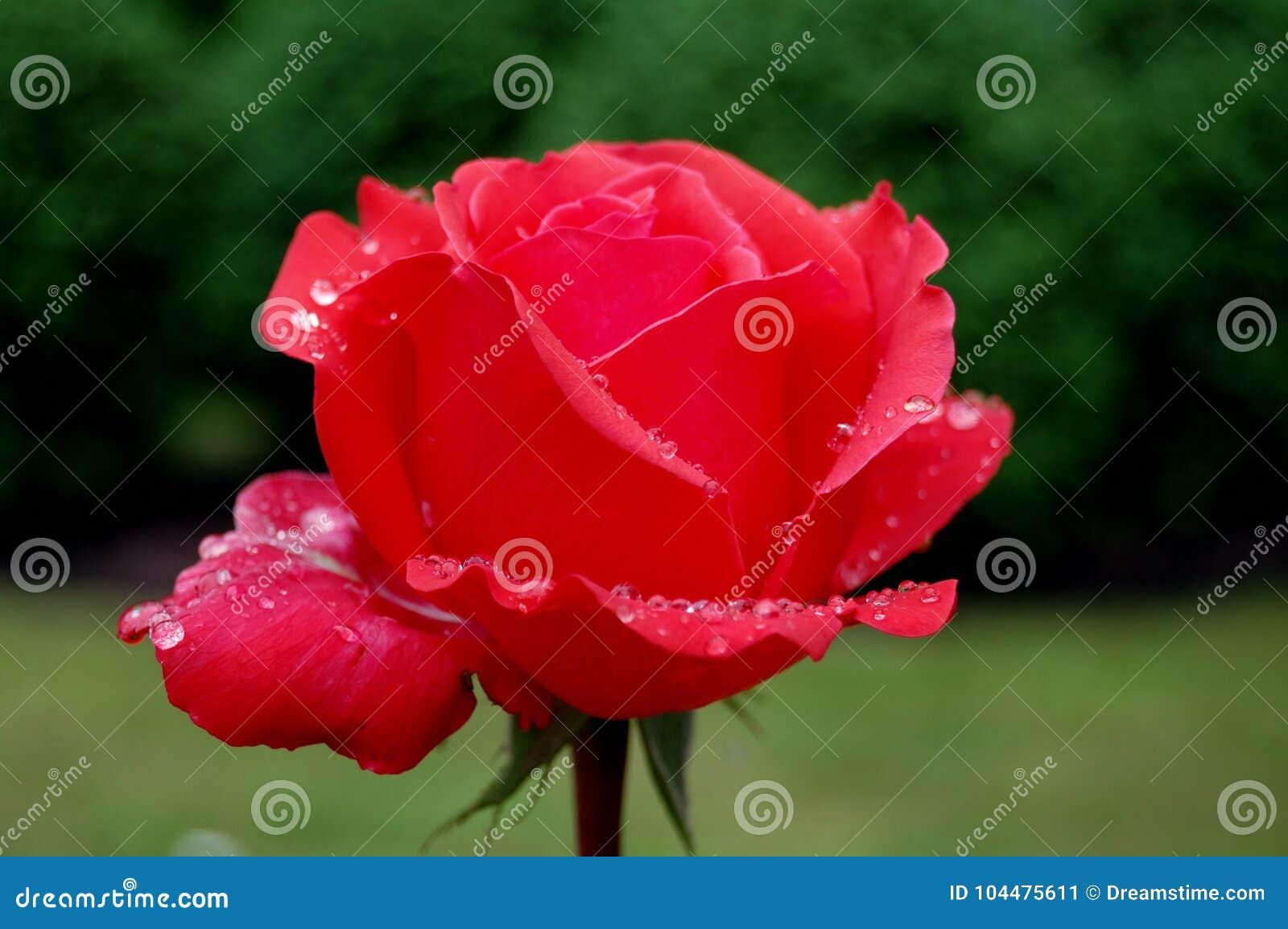 Rose de rouge en rosée