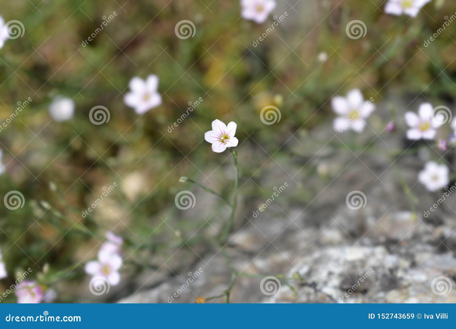 Rose de saxifrage