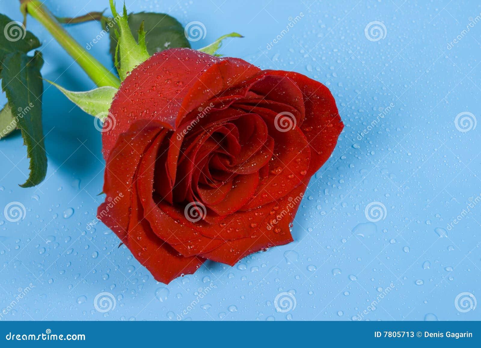 Rose del amor con gotas