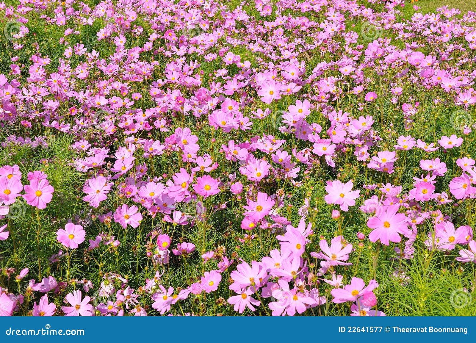rose des beaucoup petite fleur photographie stock libre de droits image 22641577. Black Bedroom Furniture Sets. Home Design Ideas
