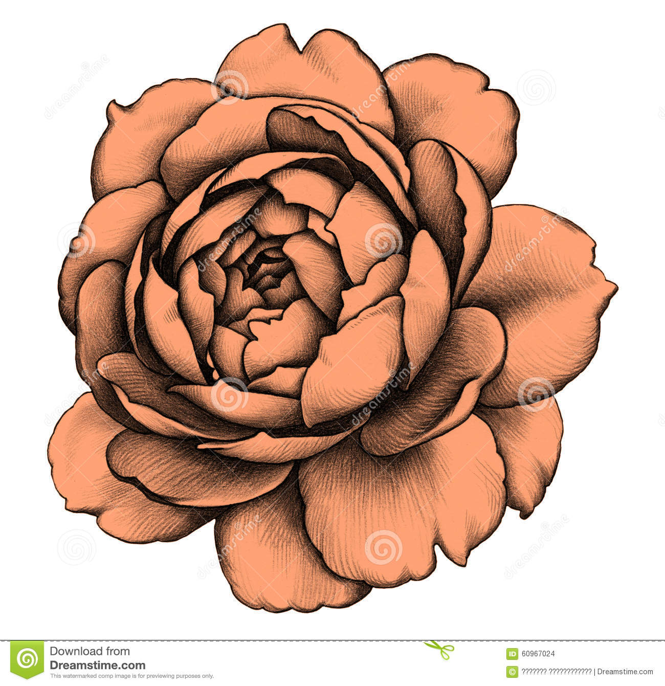 Rose dessin au crayon illustration stock image 60967024 - Rose noir dessin ...