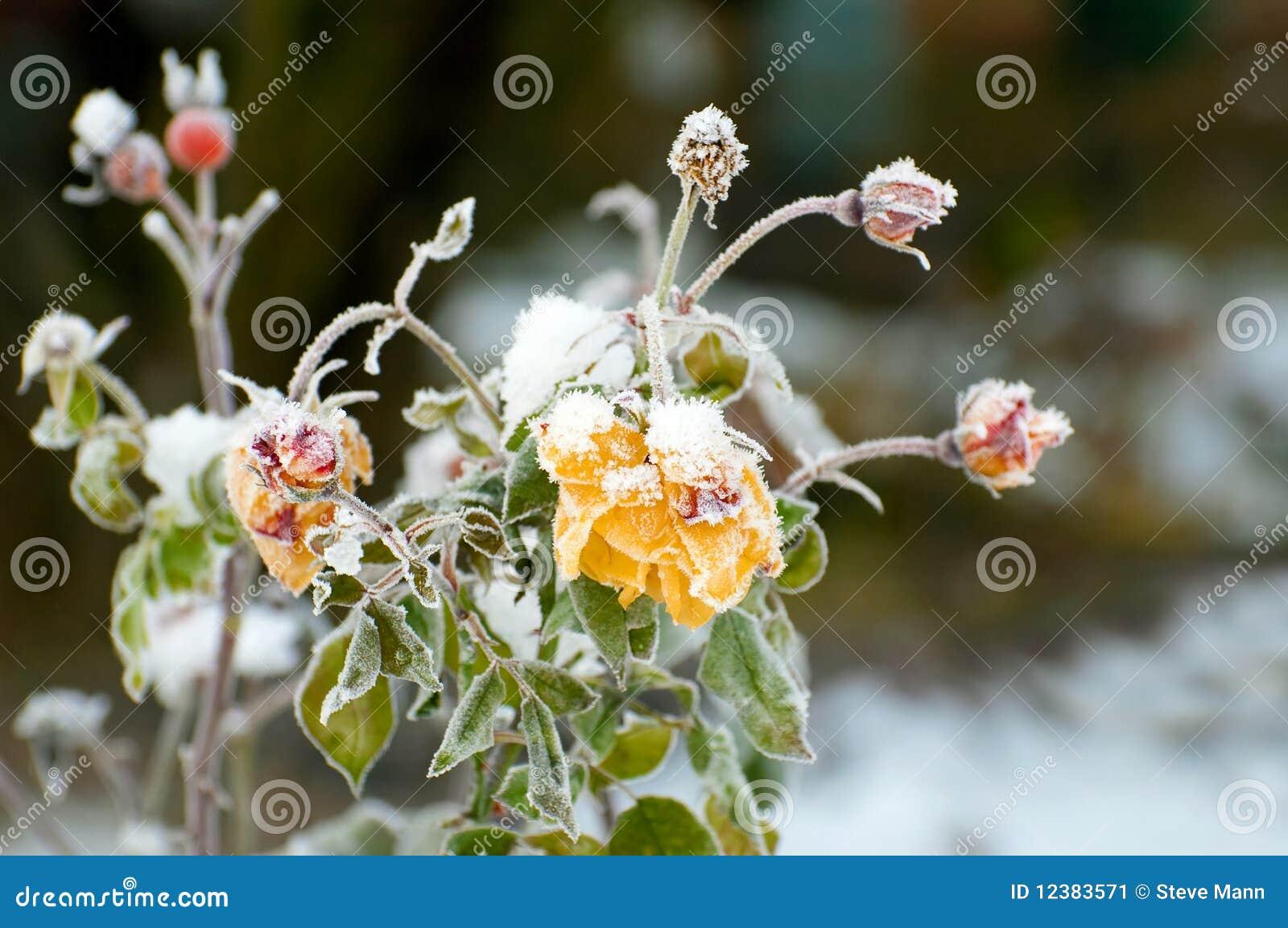 Rose di inverno
