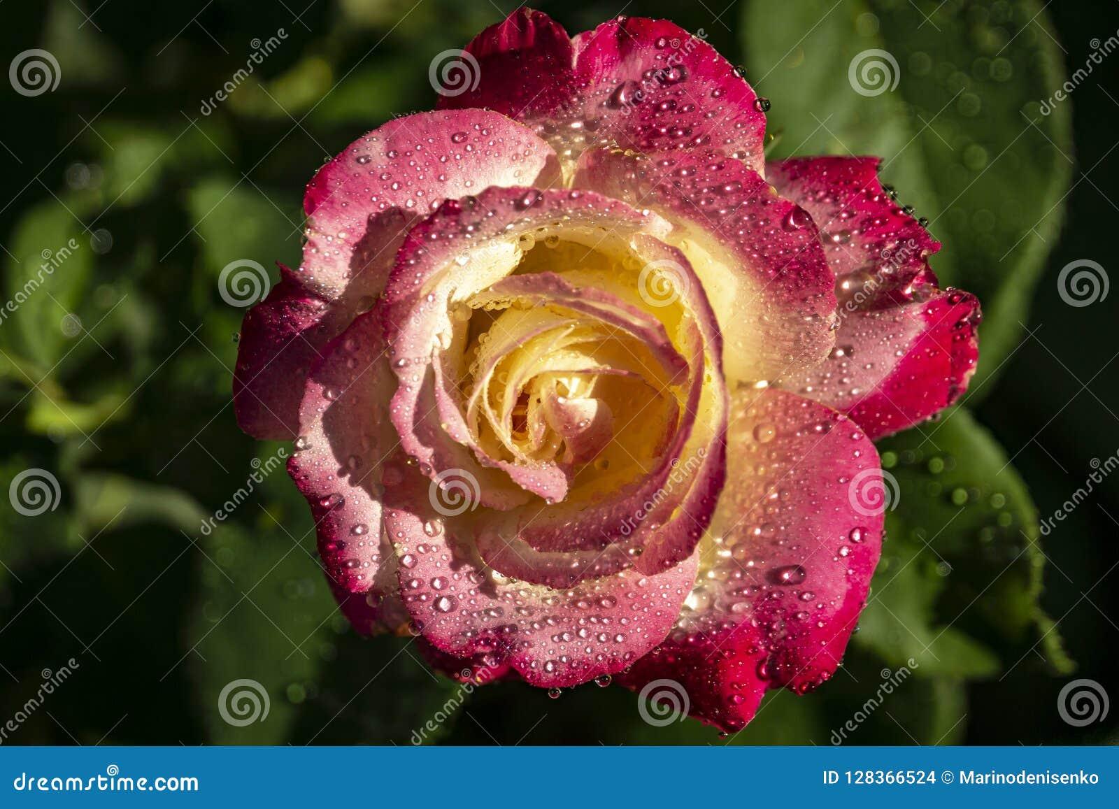 Rose Double Delight närbild Naturbegrepp för design