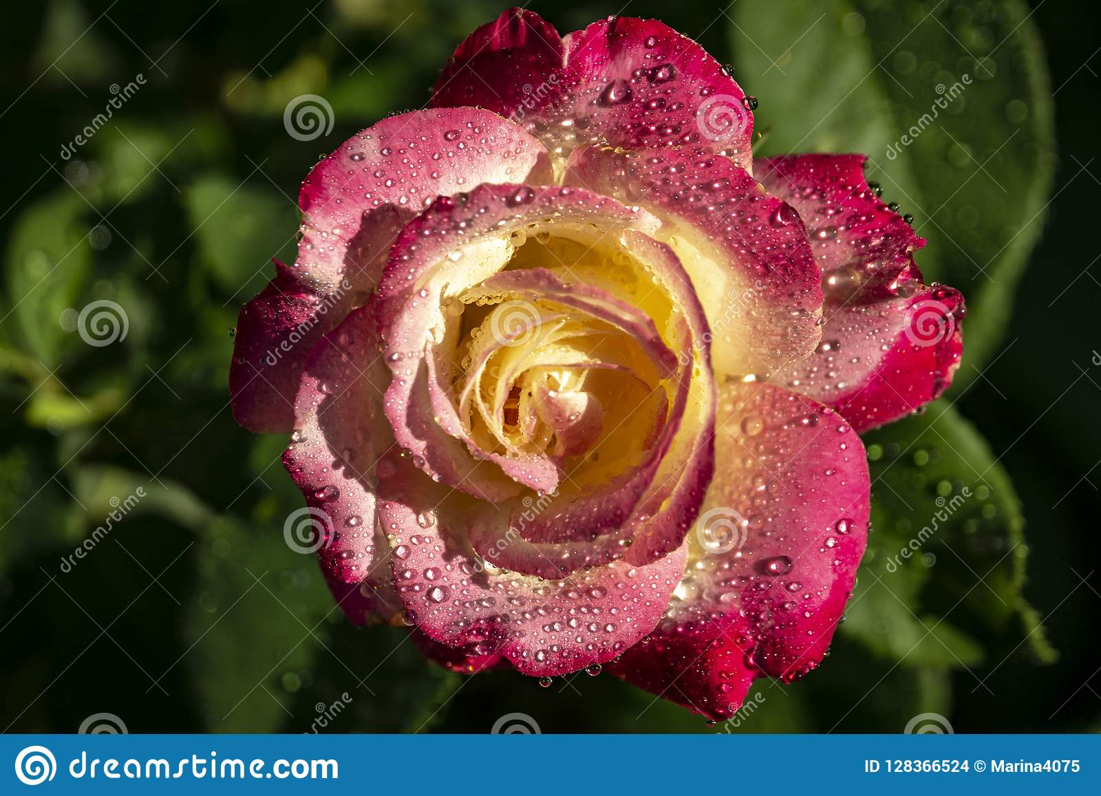 Rose Double Delight-Nahaufnahme Naturkonzept für Design
