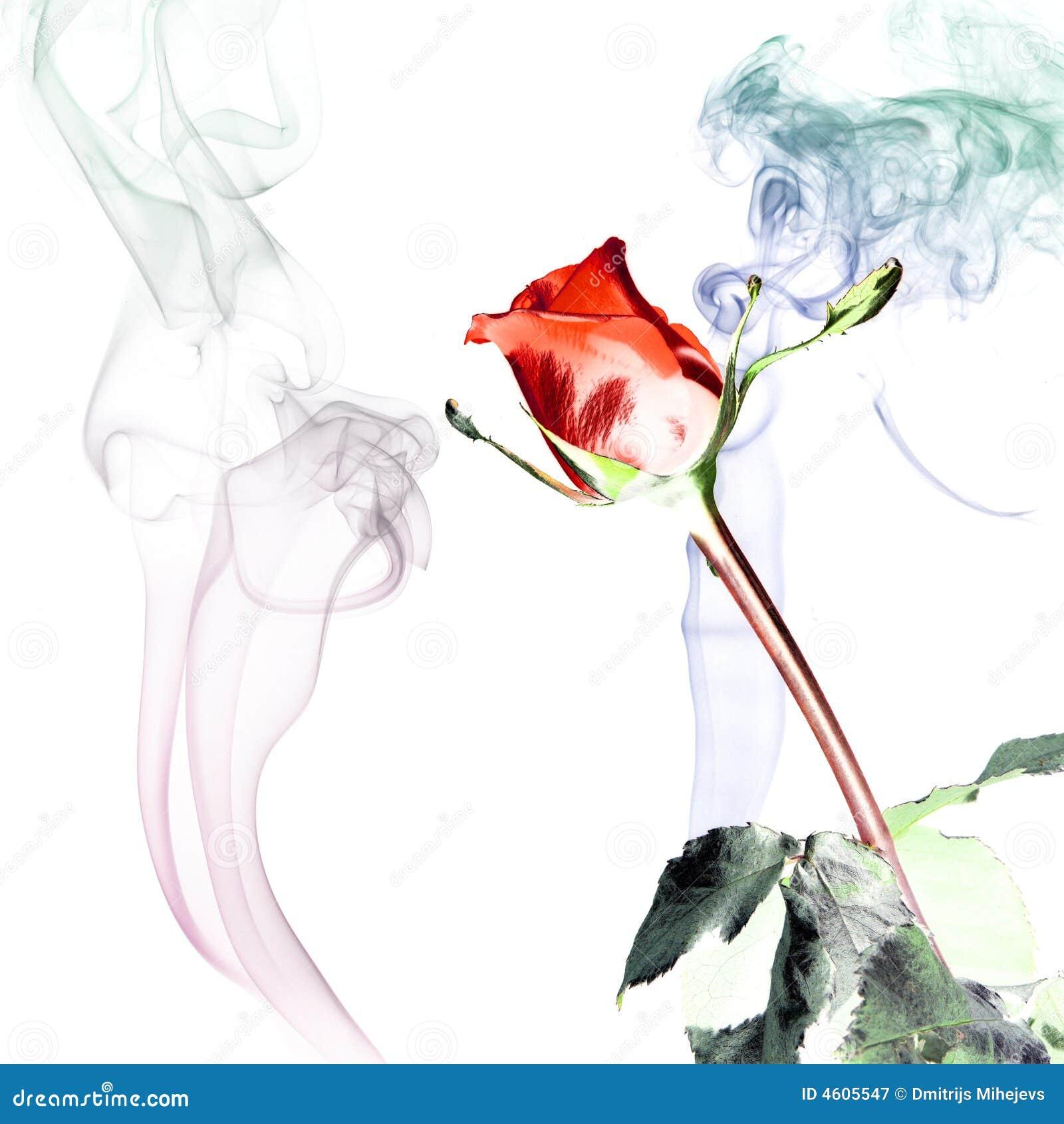 Rose dymu
