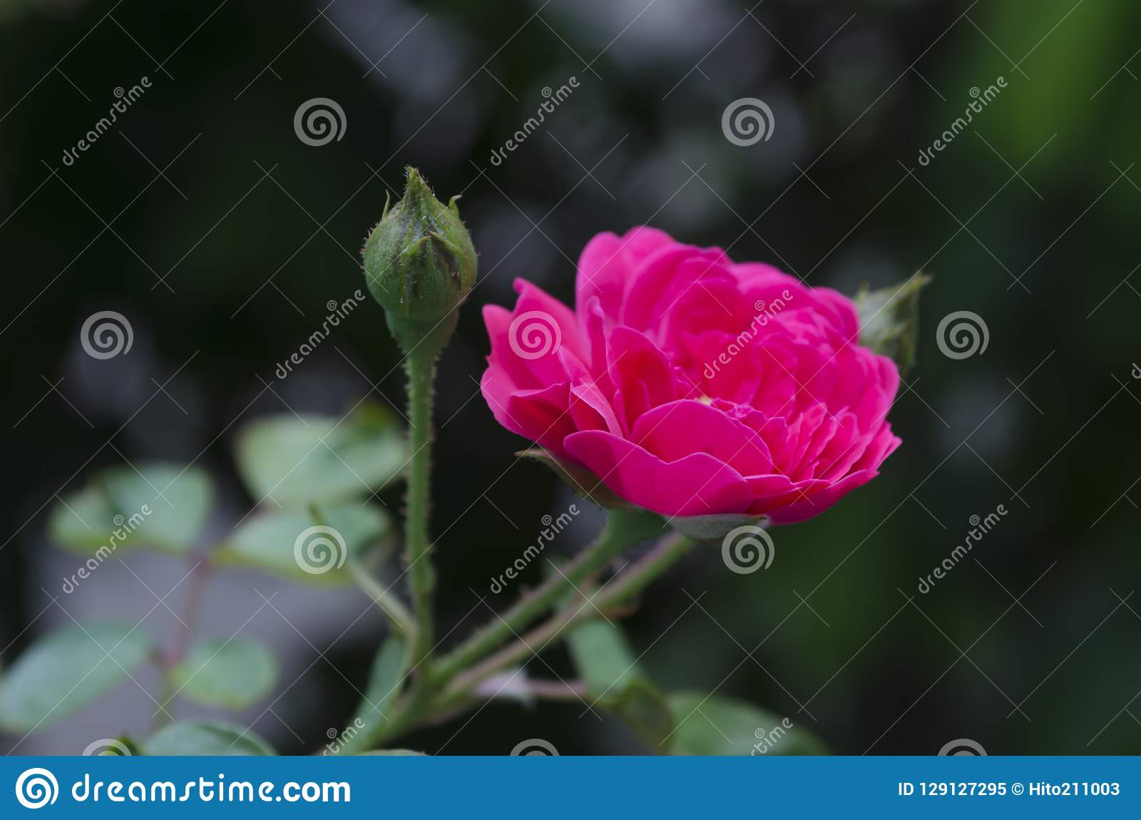 Rose e germoglio del milionario che crescono e che fioriscono a garde