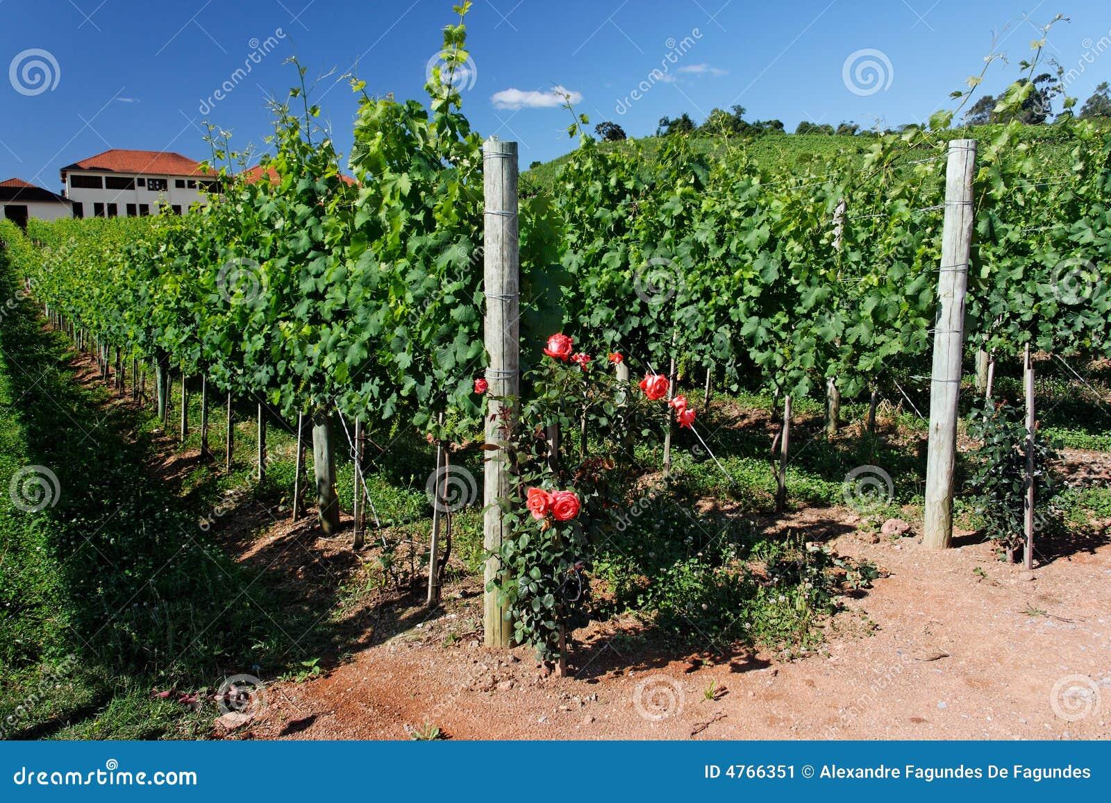 Rose e vigne immagine stock immagine 4766351 for Come costruire un mazzo del secondo piano
