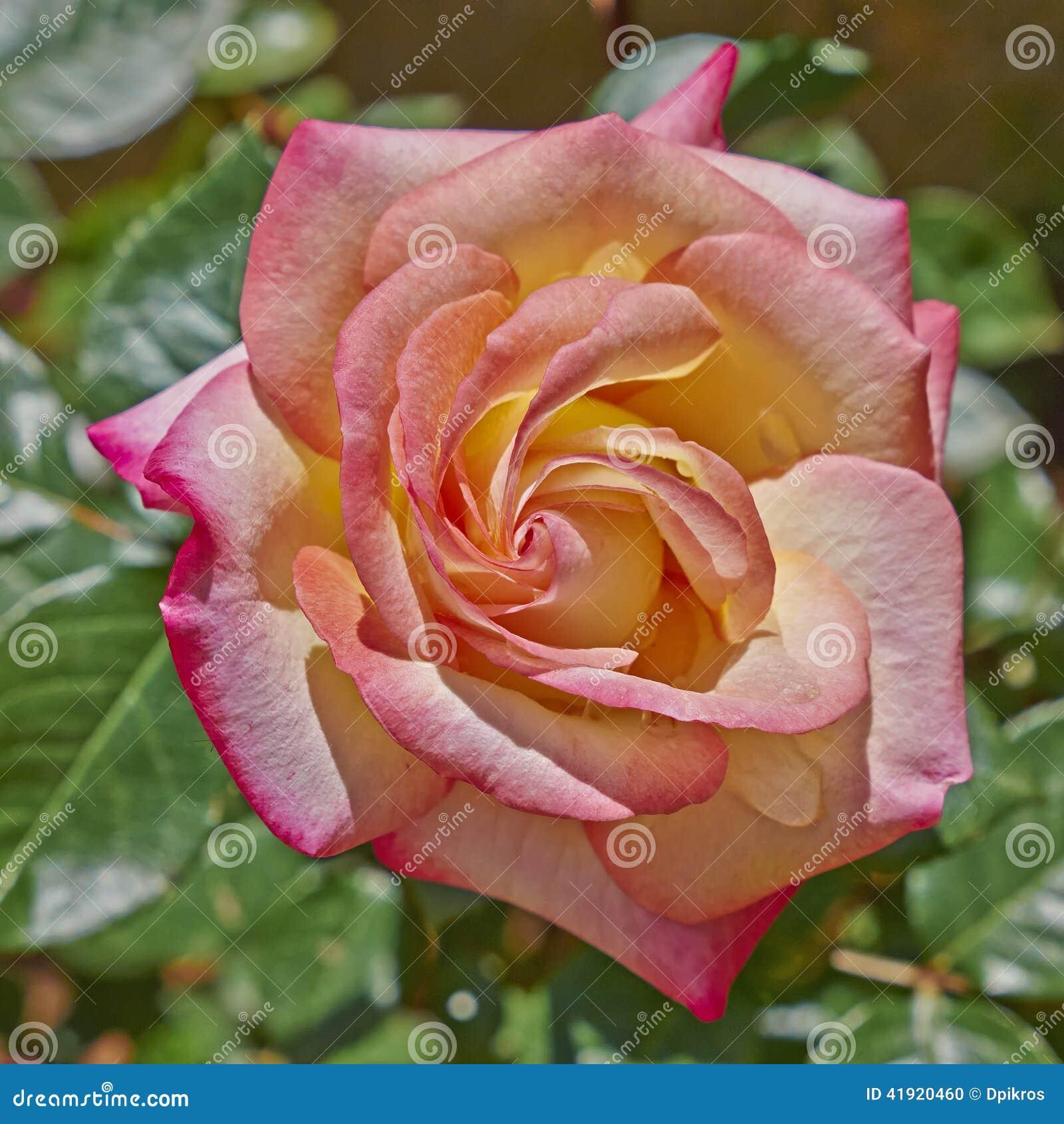 Rose en el jardín