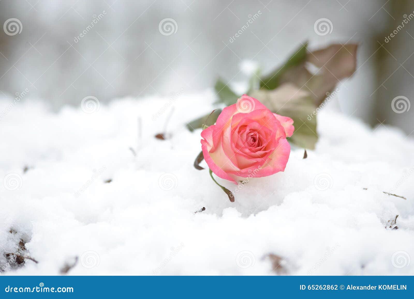Rose en la nieve