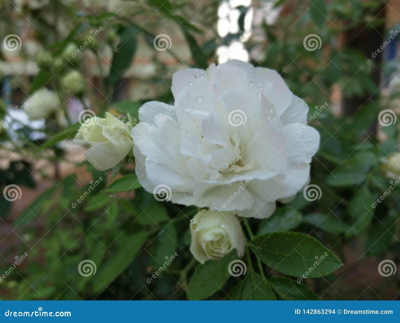 Rose en mon hydraulique de ngkl de maison de jardin
