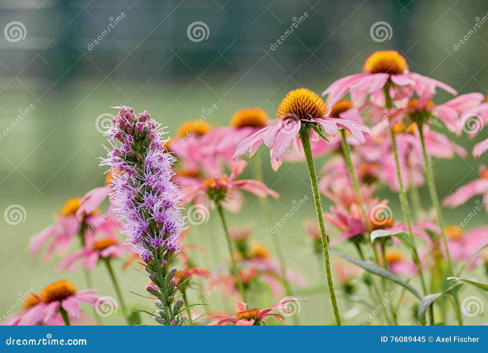 Rose et le pourpre ont coloré des fleurs de pré devant le bokeh vert