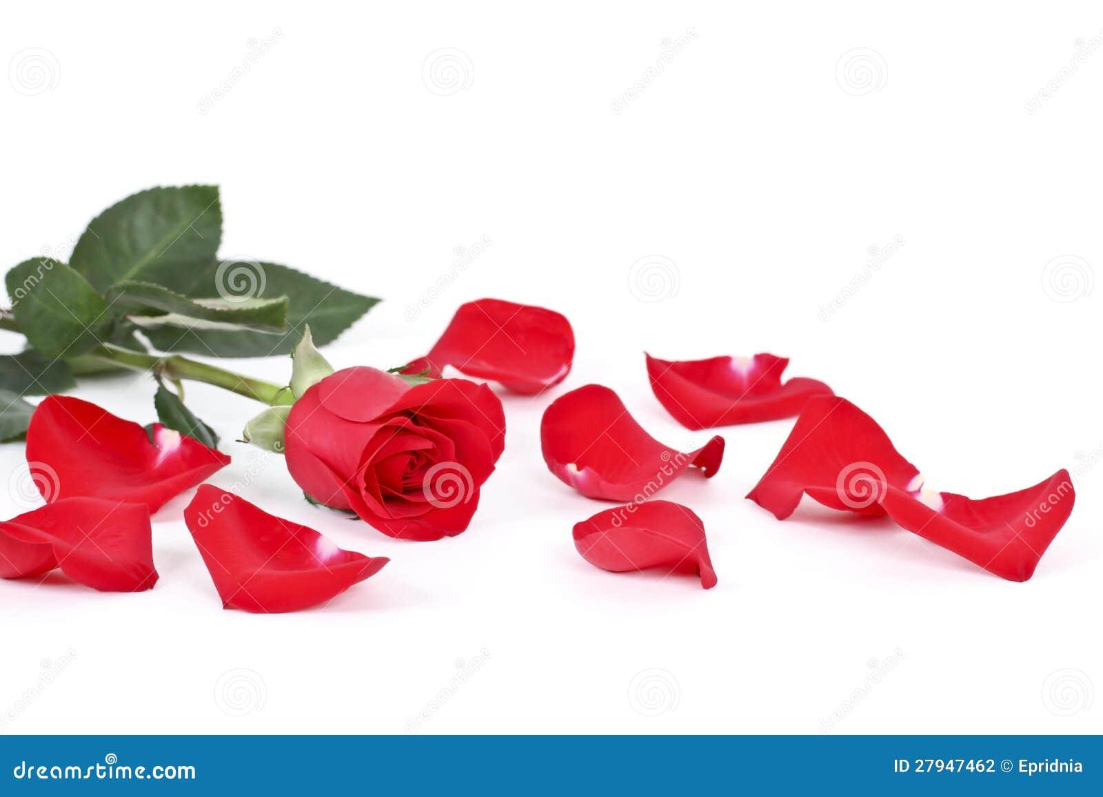 rose et p tales de rouge sur le blanc photo stock image du c l brez vacances 27947462. Black Bedroom Furniture Sets. Home Design Ideas