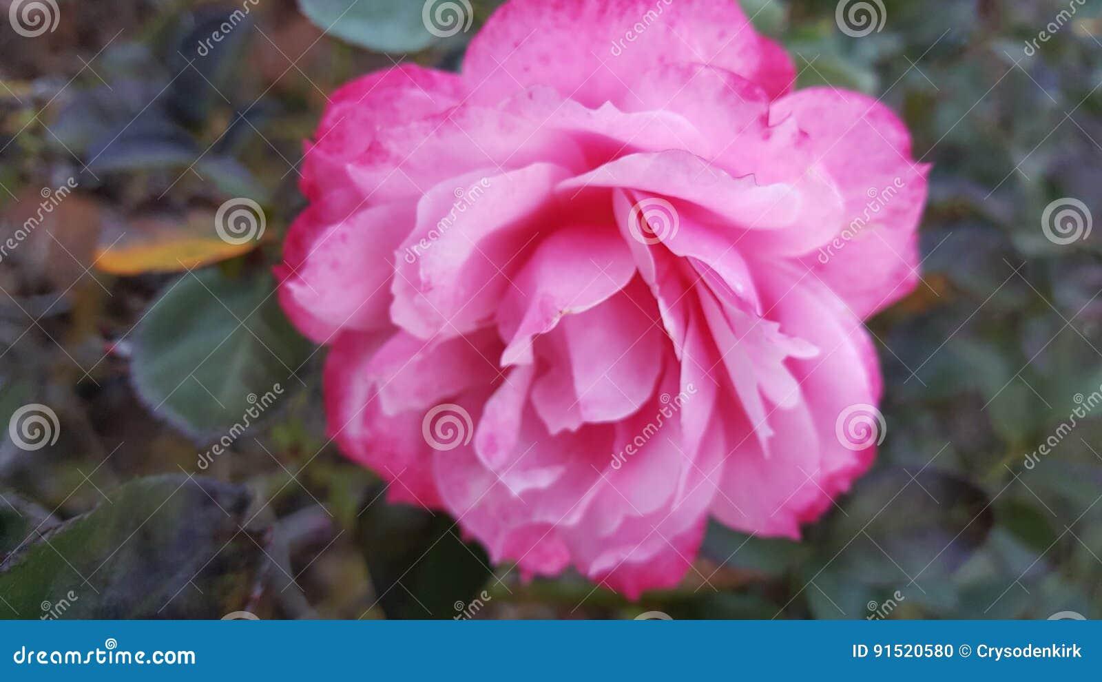 Rose In Fall