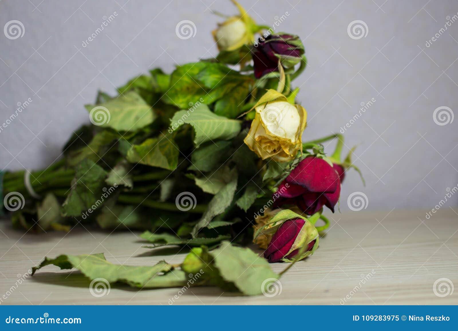 Rose Fanee De Rouge Et De Blanc Sur Le Fond Gris Image Stock Image