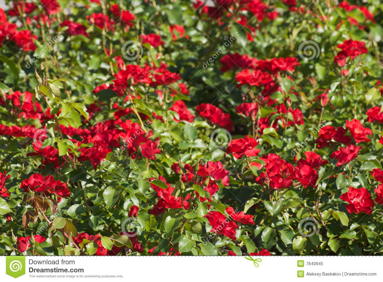 Rose Field Stock Image Image Of Painful Spring Color