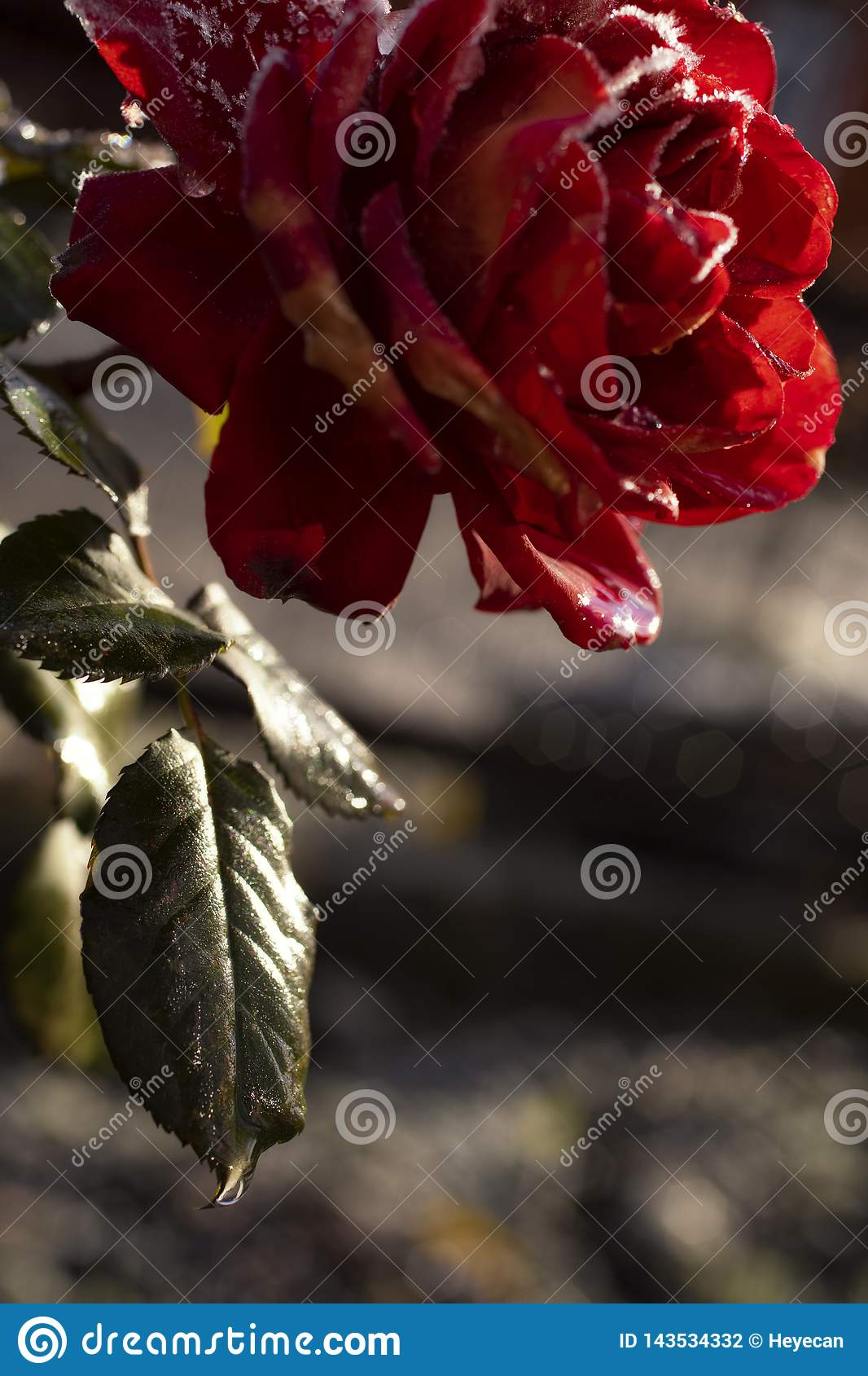 Rose figée
