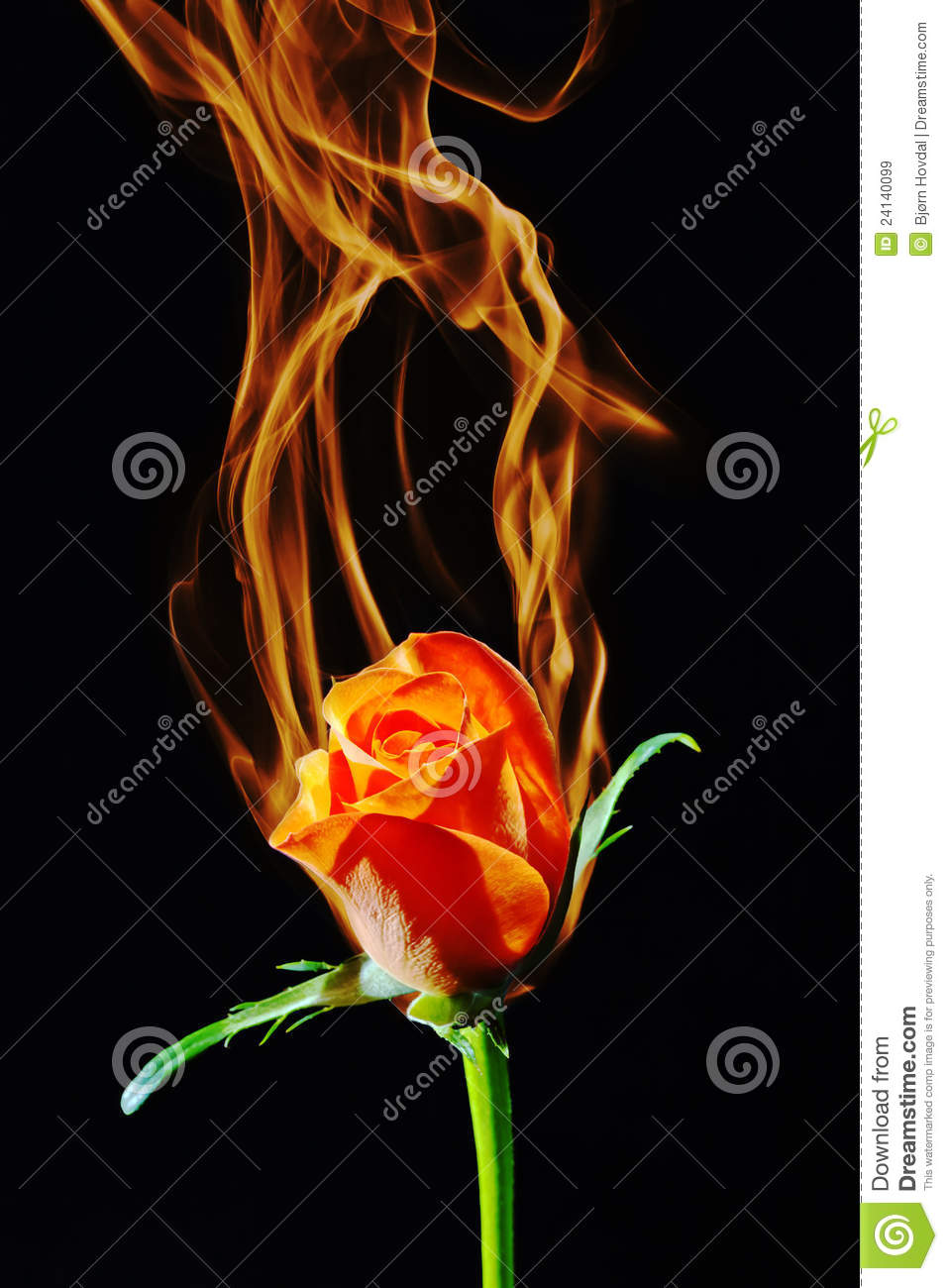 Rose On Fire Royalty Free Stock Images Image 24140099