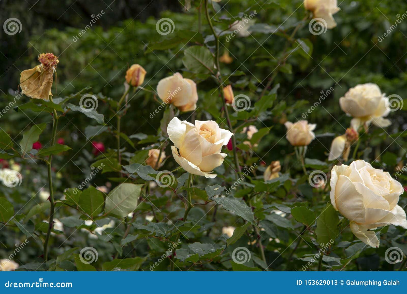Rose fleurit - crémeux rougissez du bourgeon à la tête morte