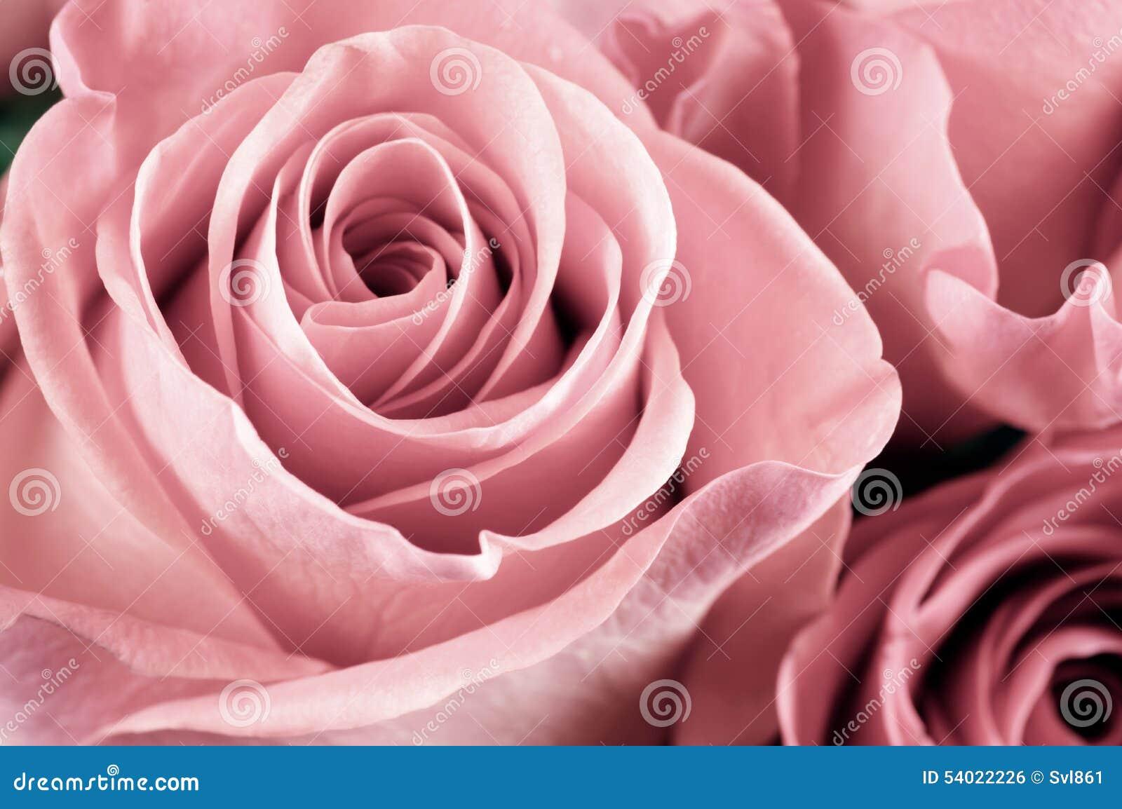 Rose fleurit le plan rapproché