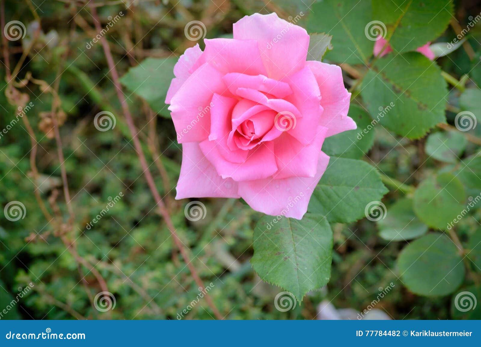 Rose bud relleno de sonido