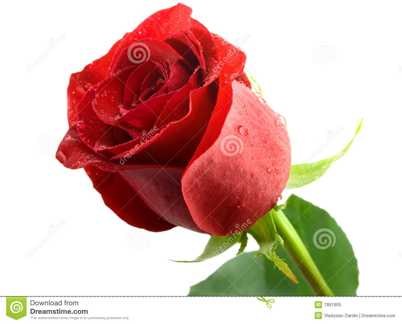 Beautiful Single Red Rose Flower Isolated Royalty Free: Rose Flower Stock Image. Image Of Flower, Event, Flores