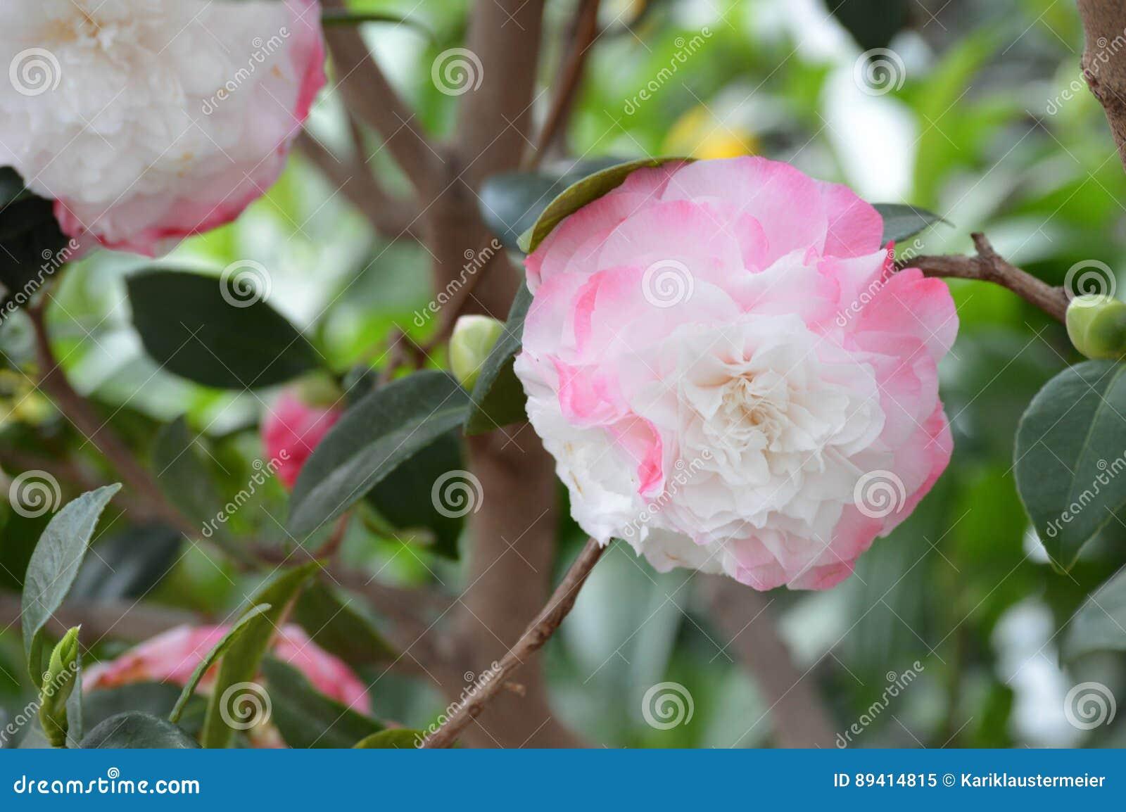 Rose Flower