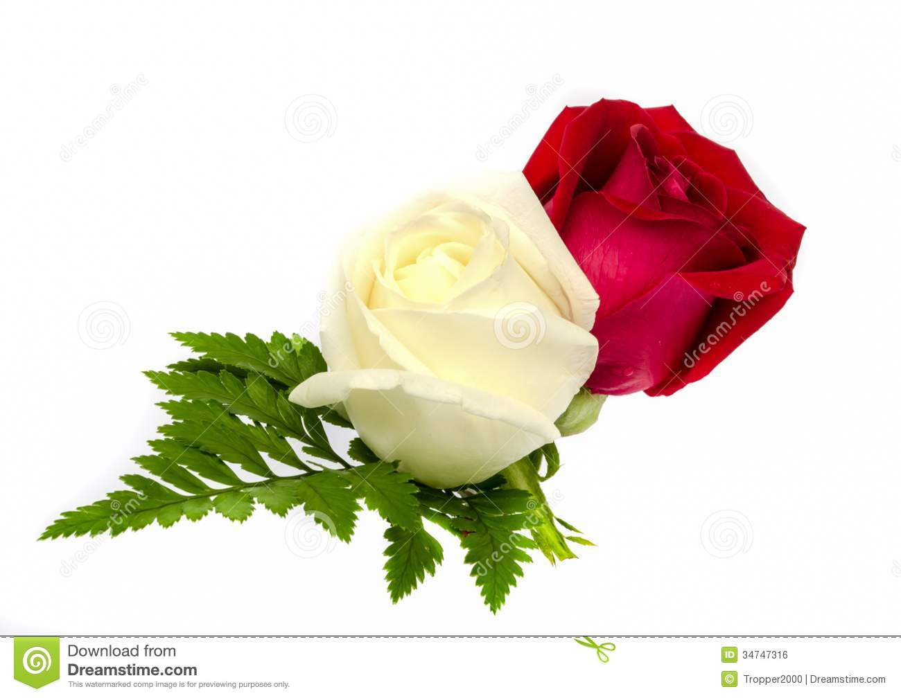 Beautiful Single Red Rose Flower Isolated Royalty Free: Rose Flower. Royalty Free Stock Image
