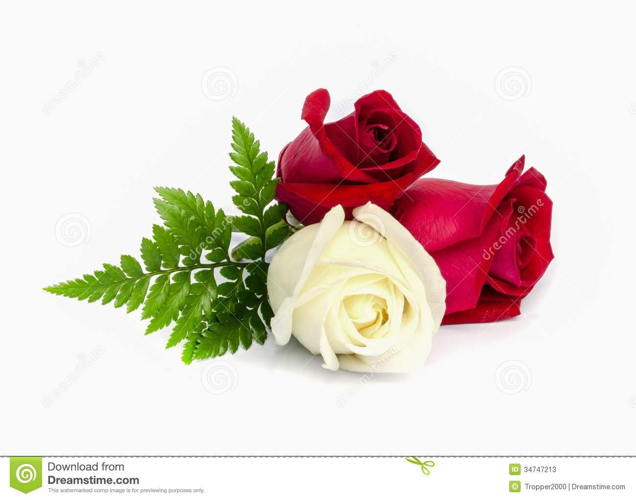 Beautiful red and white rose on white background.