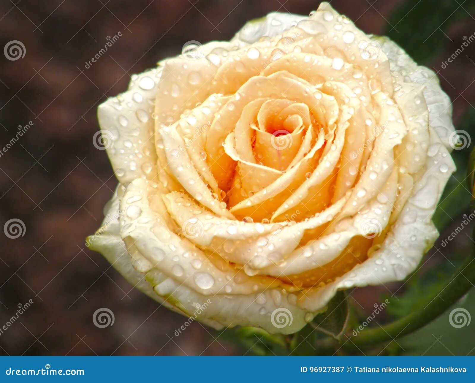 Rose Flower Bloemen