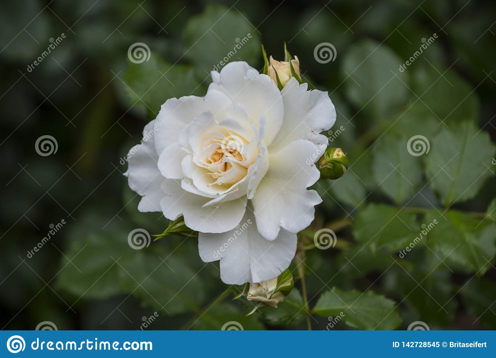 Rose flower closeup. Shallow depth of field. Spring flower of white rose royalty free stock photo
