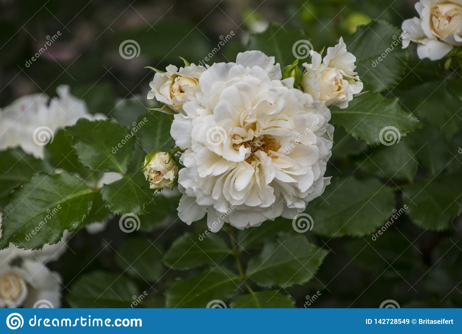 Rose flower closeup. Shallow depth of field. Spring flower of white rose royalty free stock images