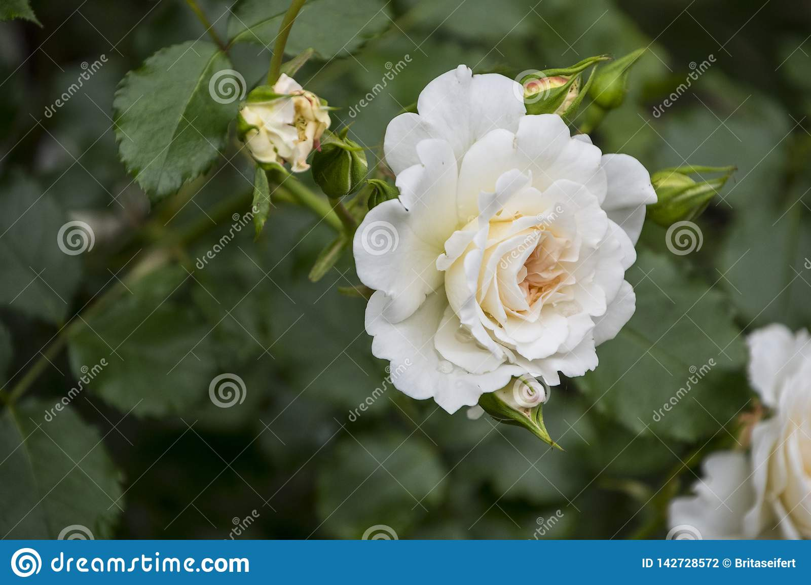Rose flower closeup. Shallow depth of field. Spring flower of white rose stock photography