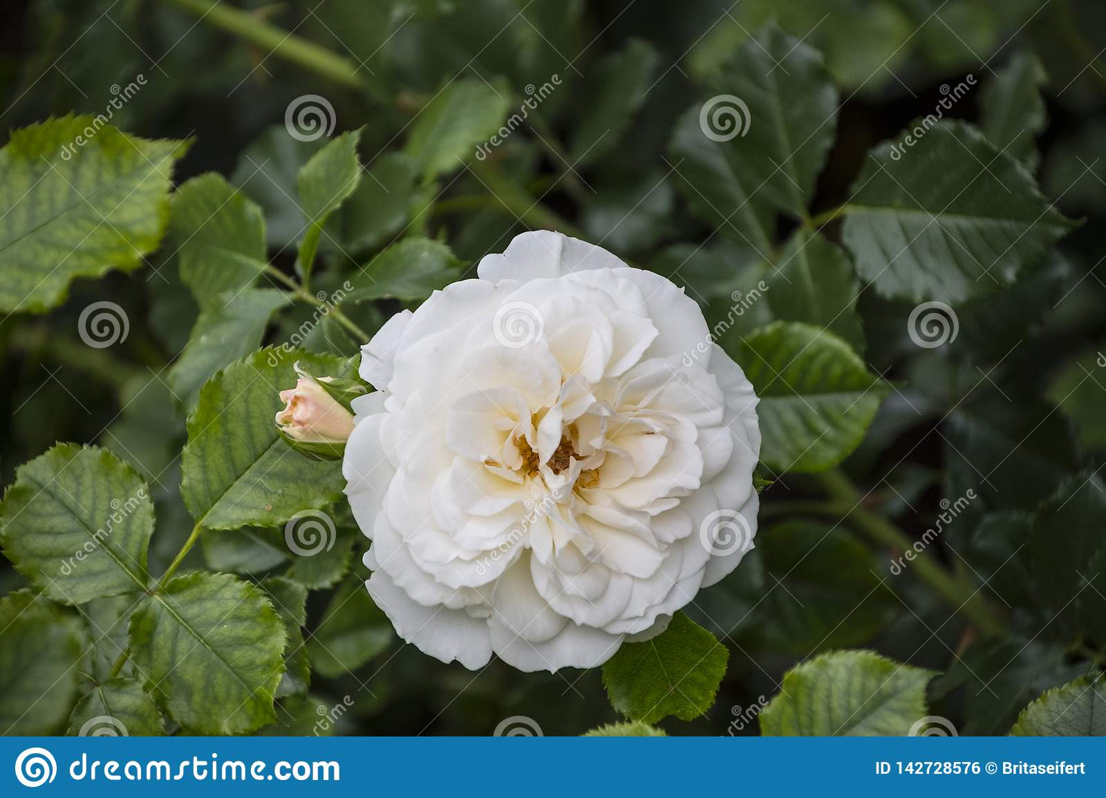 Rose flower closeup. Shallow depth of field. Spring flower of white rose royalty free stock image