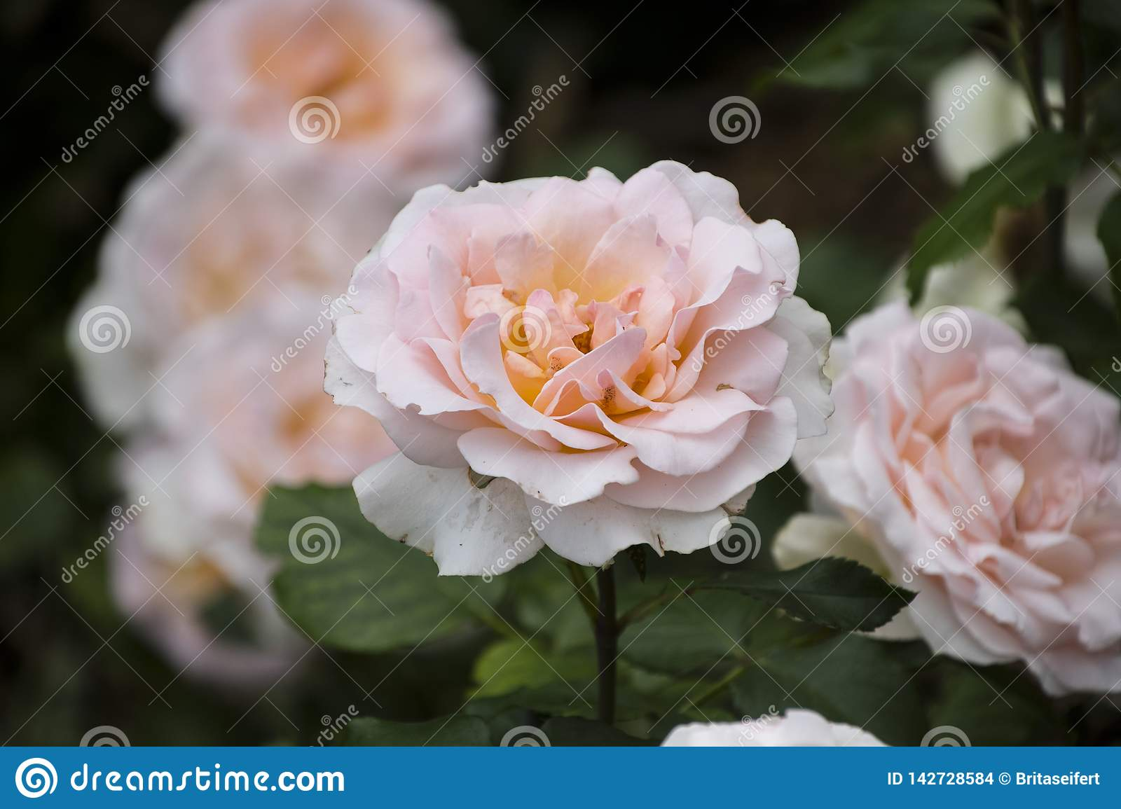 Rose flower closeup. Shallow depth of field. Spring flower of white rose stock images