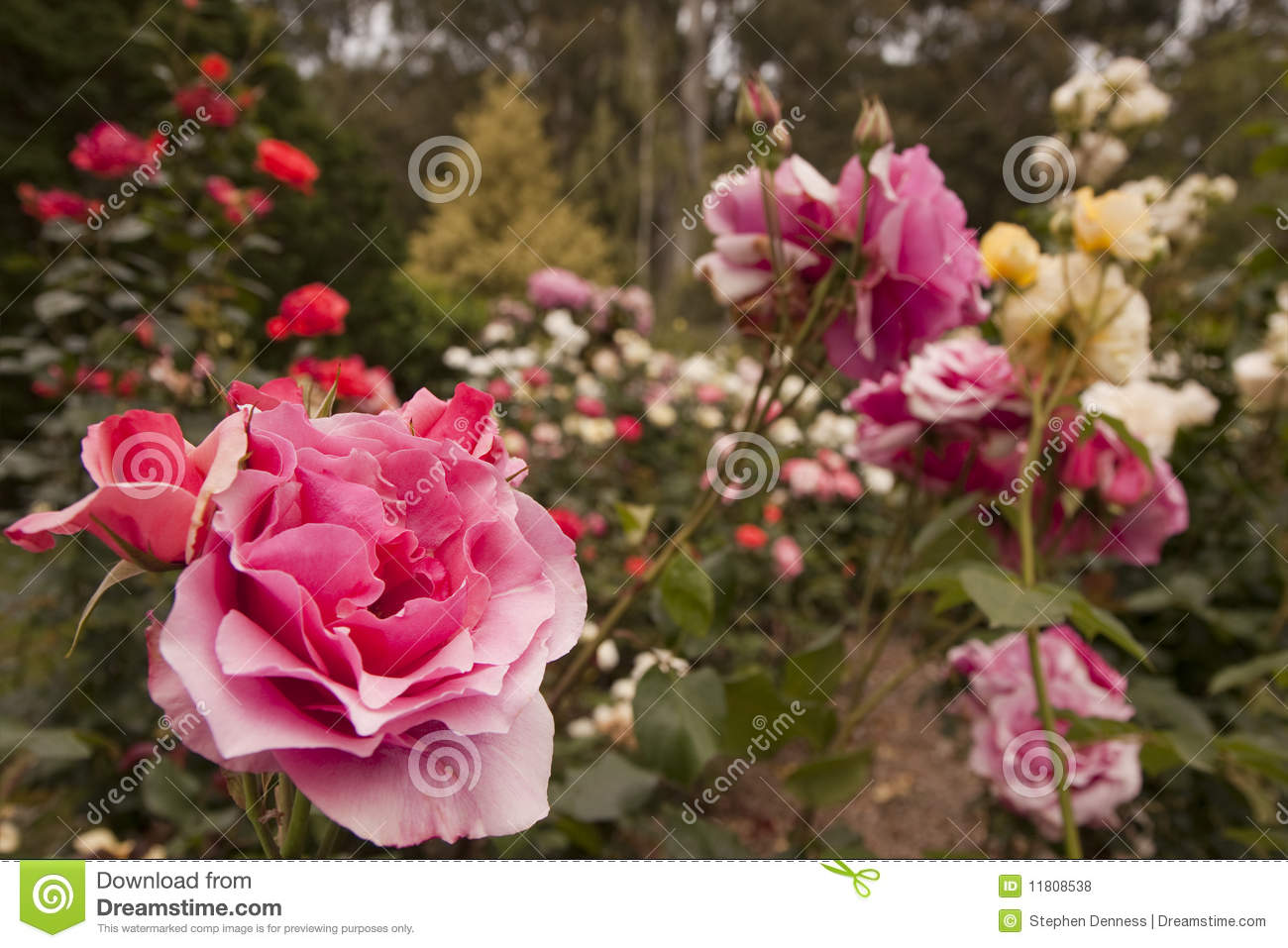 Rose Flower Garden Stock Photo. Image Of Flowers, Rose