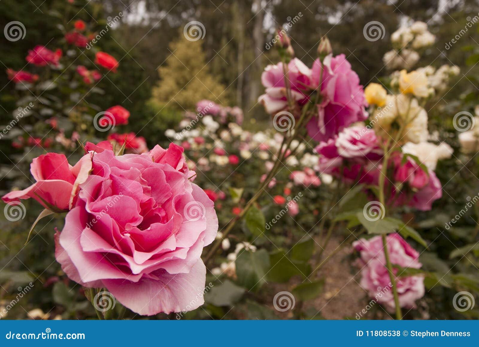 Roses In Garden: Rose Flower Garden Royalty Free Stock Photos