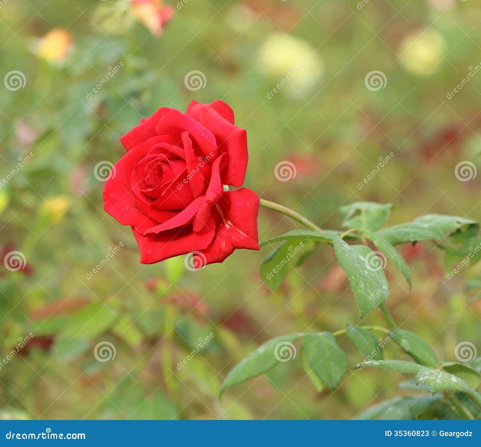 Rose flower garden pictures - Bush Flower Garden Rose