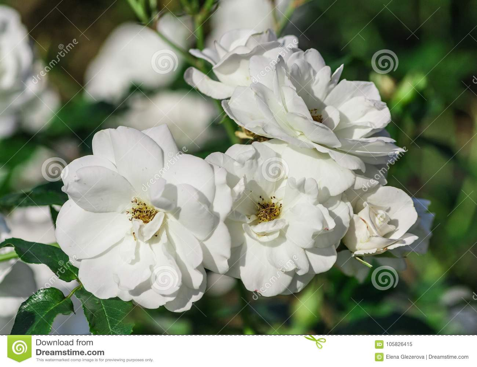 Rose Flower Grade Schneewittchen Iceberg Pure White Flowers Stock