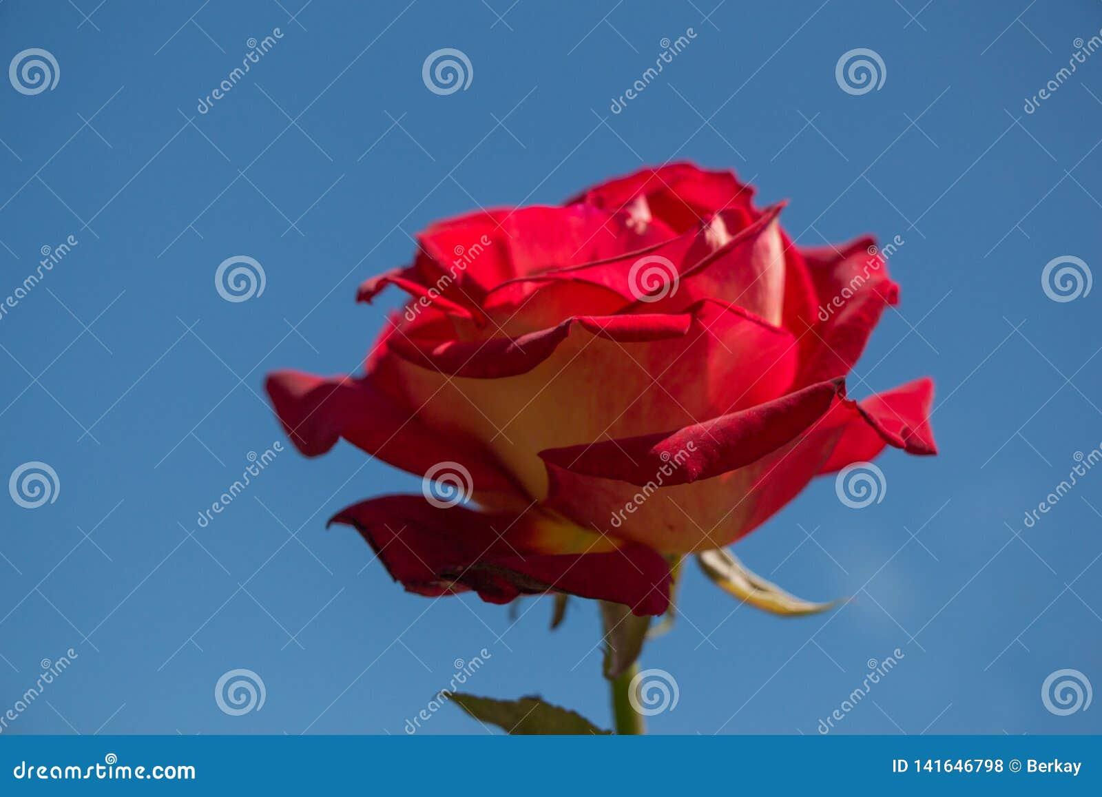 Rose Flower met een hemelachtergrond
