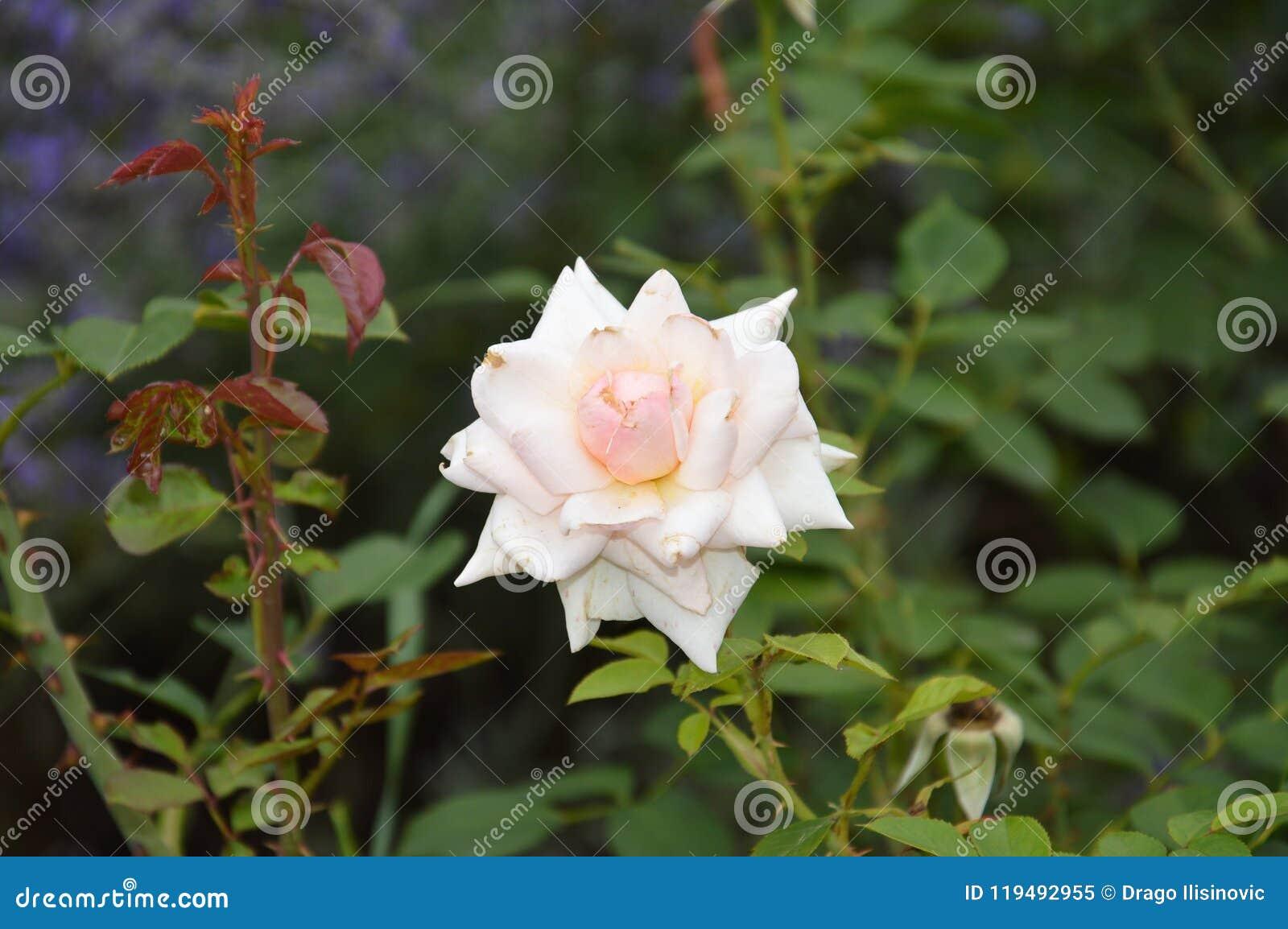 Macro White Flowers Isolated Roses Stock Image Image Of Macro