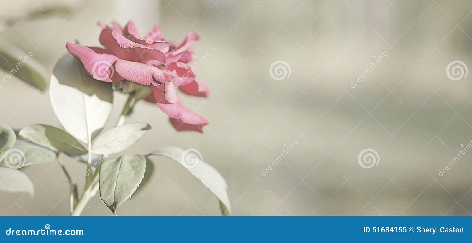 rose flower sympathy card background