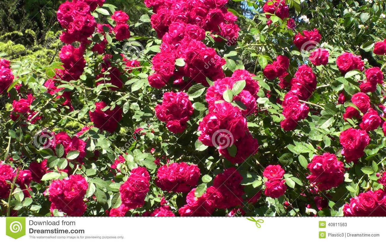 rose photo download video